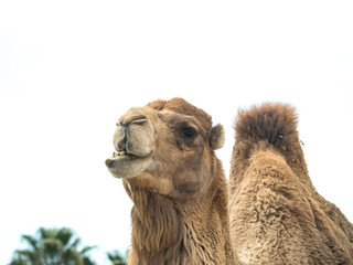 Two-humped camel (Camelus bactrianus) with funny expression isolated on white background