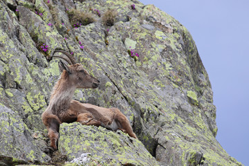 Ibex, Capra Ibex, laying on high mountain cliffs with blue sky and flowers