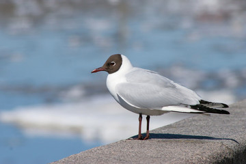 A seagull looks at an ice drift