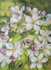 Flowers of apple. Hand-drawn illustration. Drawing with colored pencils.