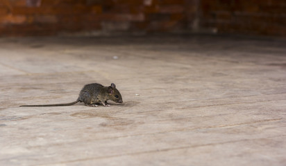 alerted house rat on the wooden floor with copy space
