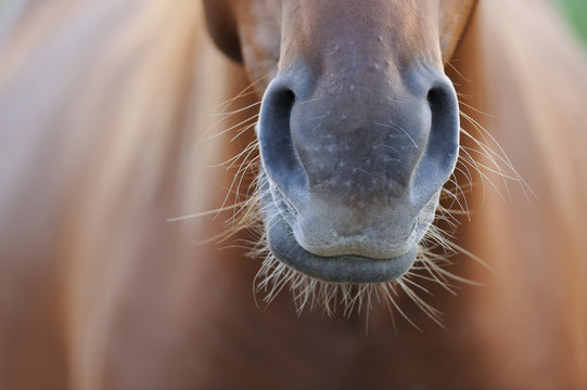 Horse's nose