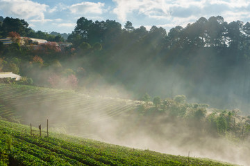 Misty morning sunrise in strawberry garden, View of Morning Mist at doi angkhang Mountain, Chiang Mai, Thailand