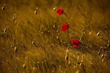 Klatschrose - poppy