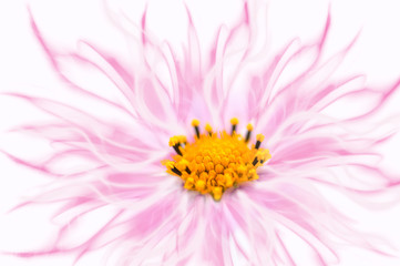 Pink kosmeya flower art image on a white background.Cosmos flower