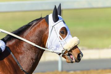 Race Horse Closeup Track