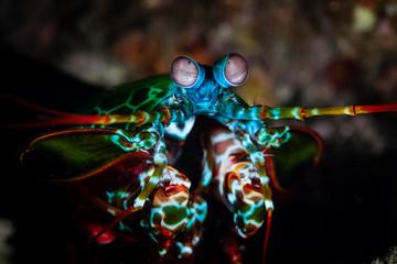 Foto op Aluminium Onder water Peacock Mantis Shrimp in Coral Triangle
