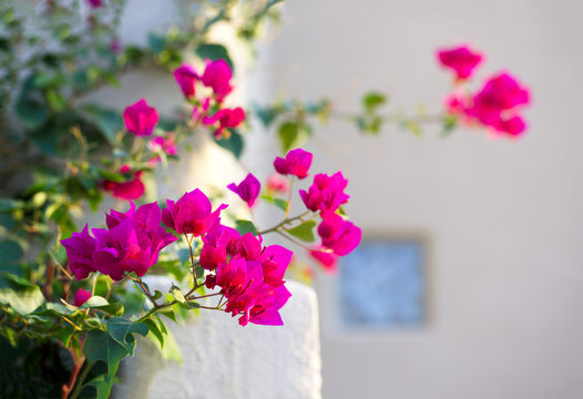 Bougainvillea brings dramatic color to home landscaping