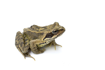 Common English Wild Frog on White Background
