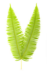 Fresh fern leaves isolated on white background.