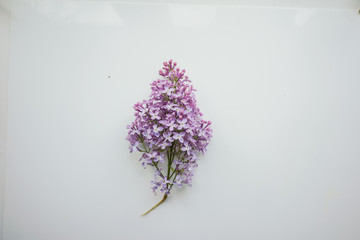 Branch of lilac on a white-painted wooden boards. Top view.