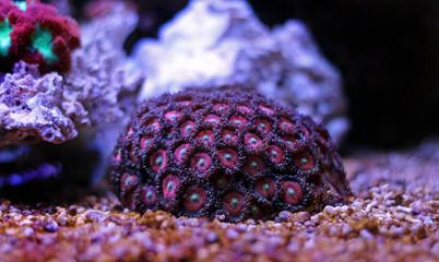 Zoanthus colony polyps
