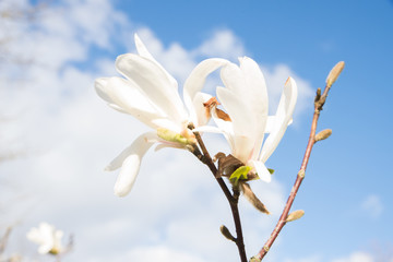 Beautiful Magnolia Tree With Blooming Flowers on a Blue Sky