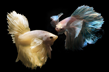 Betta or Saimese fighting fish.