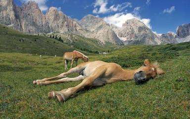 Pferdeschlaf auf Alpenwiese