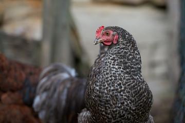 Organic free range chickens