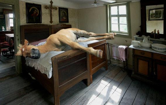Schlafendes Pferd im Bett