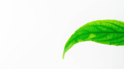 Green leaf on white background close up