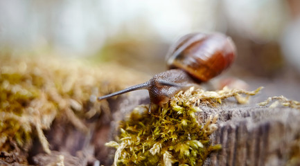 Small brown snail crawling and moss