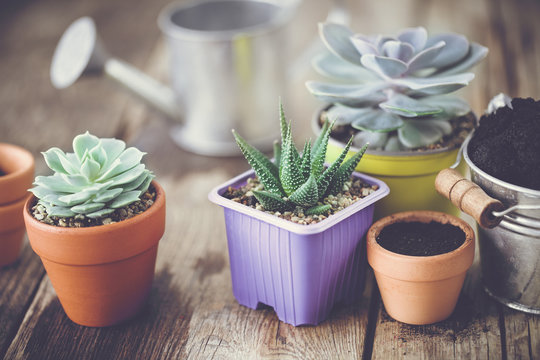 Succulents in pots, bucket with soil and watering can. Planting and care of houseplants and flowers.