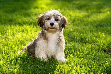 Happy little havanese puppy dog sitting in the grass
