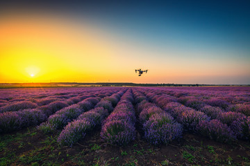 Sunset Blooming lavender field and flying drone quadcopter over endless rows
