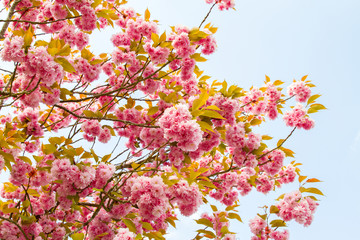 Cherry flowers in full blossom in spring in Normandy, France