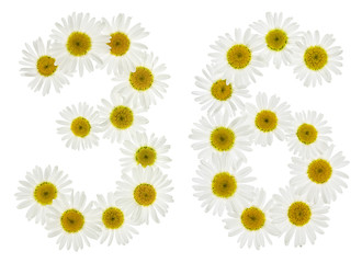 Arabic numeral 36, thirty six, from white flowers of chamomile, isolated on white background