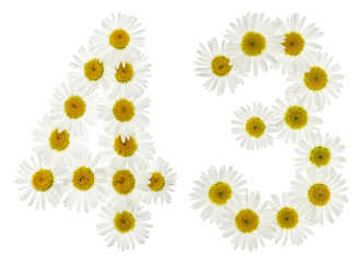 Arabic numeral 43, forty three, from white flowers of chamomile, isolated on white background