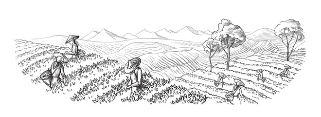 A woman in traditional clothes collects tea leaves on a a tea plantation, fields. Tea Picker. Hand-drawn vector illustration line sketch