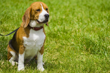 Dog beagle on green grass. closeup Beagle. Beagle dogs, portrait
