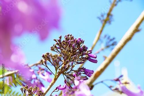 Jacaranda flowers are on the blue sky background