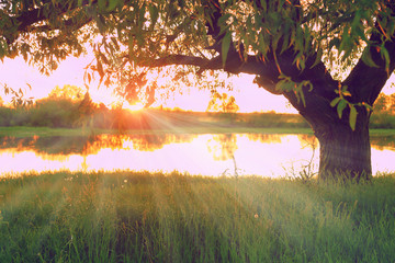 rays of the sun shine through the branches of a lonely tree on the bank of the river at sunset