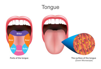 The tongue also serves as a natural means of cleaning the teeth.It is of importance in the digestive system and is the primary organ of taste in the gustatory system. Education info graphic.
