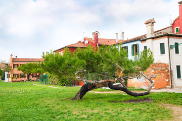 Venice landmark, Burano island, colorful houses and green pine tree