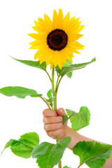 hand is holding a sunflower