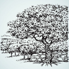 Vector drawing. Tree in Vineyard