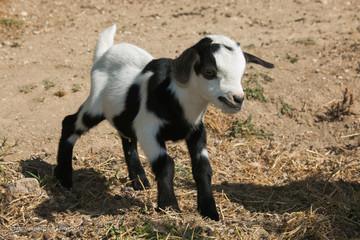 Ritratto di un cucciolo appena nato di capra tibetana