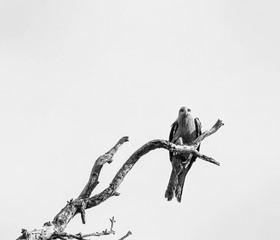 Eagle in Dead Tree Black and White