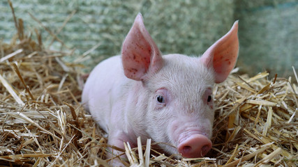A piglet newborn standing on a straw in the farm. concept of biological , animal health , friendship , love of nature . vegan and vegetarian style . respect for animals.
