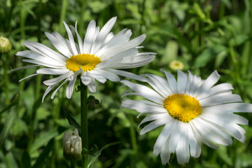 Close-up of white daisy flowers grown at greenhouse