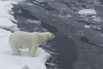 Auf der Suche nach den Eisbären