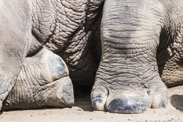 Feet of a White Rhino