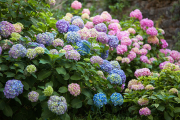 Foto op Canvas Hydrangea Hydrangea is pink, blue, lilac, violet, purple flowers are blooming in spring and summer at sunset in town garden.