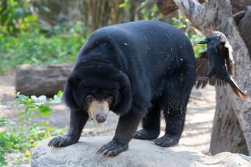 Closeup of Malayan Sun Bear (Helarctos malayanus) is walking on rock in the zoo