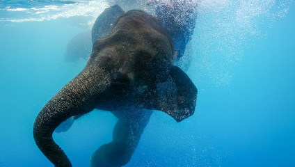 Swimming Elephant Underwater. African elephant in swimming pool