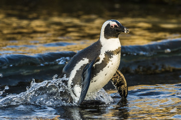 African Penguin coming ashore at dusk