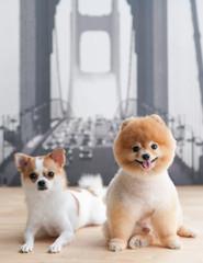 Pomeranian and Chihuahua sitting_02