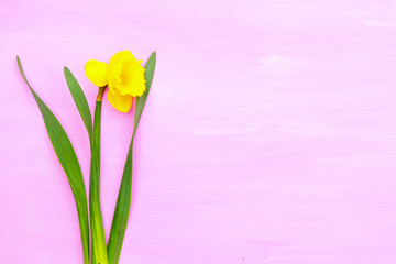 Spring yellow narcissus on pink painted wooden planks with space for text
