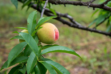 not yet ripe peach on tree